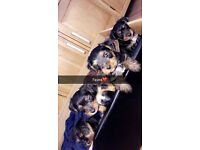 yorkshire terrier pups 1 GIRL LEFT