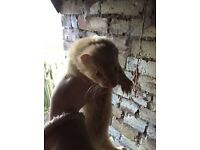 Male Pet Ferret