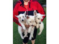 Lovely White Terriers for Sale
