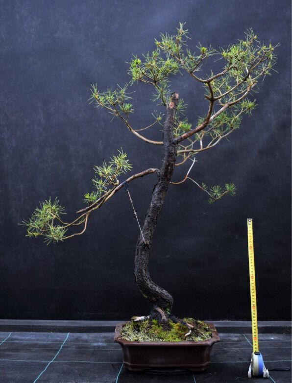 1mtr high Yamadori Literati Scots Pine