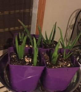 MANY    ORGANIC ALOE VERA PLANTS FOR SALE