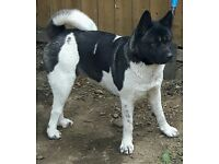 Kc reg akita puppies -with both vaccinations