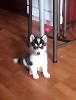 Husky Puppy ready to go to their new home