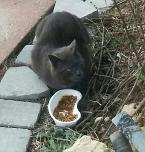 MATURE MALE CAT FOUND...Gray Short Haired, not neutured.