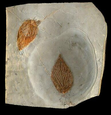 EXTINCTIONS- COLORFUL PAIR OF DETAILED  FOSSIL HACKBERRY LEAVES, MONTANA - NICE!