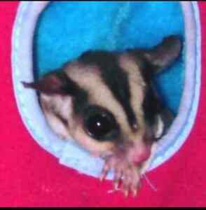 Female 6 month sugar glider for sale needs a good home