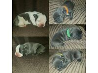 Litter of blue french bulldogs * only 3 remaining *
