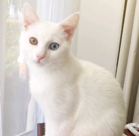Sold Luxury Rare Odd Eyed Turkish Angora Kitten