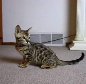 ** price reduced ** TiCA registerd bengal