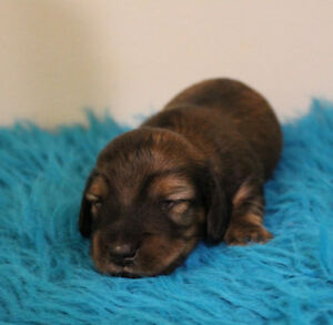 CKC REG'D ML DACHSHUND PUPPIES AVAILABLE