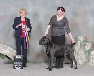 Cane Corso puppies and adults