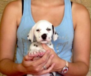 Purebred Dalmatian Puppies Helidon Spa Lockyer Valley Preview