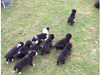 BORDER COLLIE X WHIPPET PUPPIES For Sale - 10 Healthy, lovely, cute dogs & bitches available