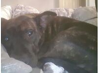 Dark brindle staffy for rehoming