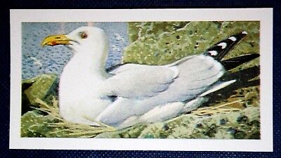 HERRING GULL  Nesting     Colour Card  CAT A