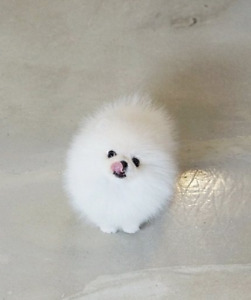 super rare❤teacup white Pomeranian puppy!~NEW