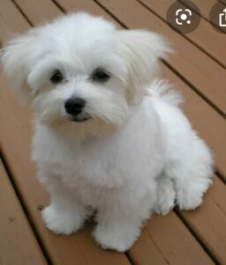 Looking for a fully trained male Maltese - I'm not selling