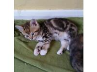Three lovely kittens for sale. Loving home is necessary.