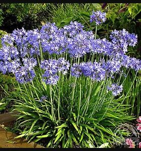 Wanted purple Agapanthus plants please!!! Albany Albany Area Preview