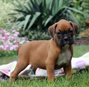 WANTED: BOXER PUPPY FOR ME