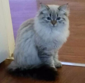 Sweetheart Gorgeous Hypoallergenic Siberian Cat for Sale