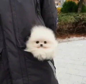 ❤Extremely adorable ❤White teacup Pomeranian puppies!NEW!