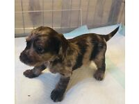 Miniature Dachshund X Toy Poodle puppies available now!