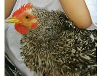 Chicken/cock
