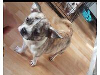 French bulldog cross female + male pup