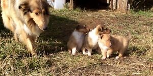 Rough Collie Pups
