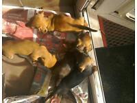 Dachshund pups ready 21st Oct