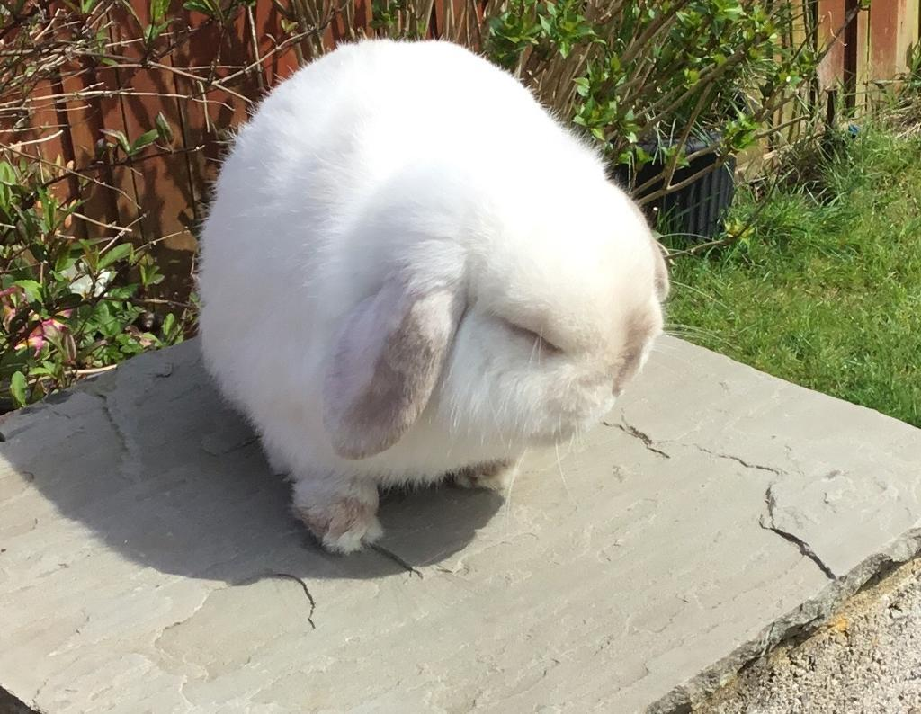 Mini Lop Rabbit ( Buck )