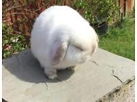 Mini Lop Rabbit ( Buck )