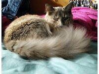 ***Reserved***Shy, pretty female part Maine Coon. Indoor cat. 18 months old