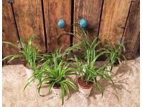 Free Potted Baby Spider Plants
