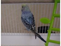 Male budgie complete with cage and food