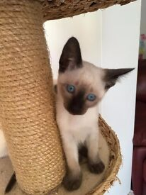 Old Style Siamese kittens, Microchipped+ Pedigree