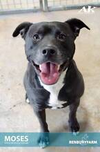 FOSTER CARER NEEDED URGENTLY FOR MOSES.HIS TIME IS UP NOW. Beverly Hills Hurstville Area Preview