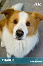 ADOPT NOW !!!  Adorable Border Collie Austral Liverpool Area Preview