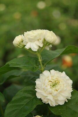 Jasmine-sambac Grand Duke Supreme-1 Gallon Size