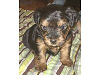 stunning yorkshire terrier puppies
