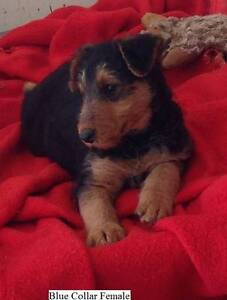 """Airedale Terrier Puppies  Available """" 1 Male & 1 Female"""" Maryborough Central Goldfields Preview"""