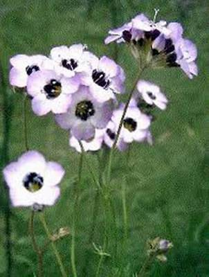 BIRD'S EYE GILIA TRICOLOR 100+ SEEDS ORGANIC, BEAUTIFUL DELICATE LAVENDER BLOOMS