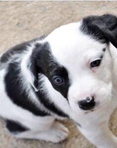 Koolie Pups