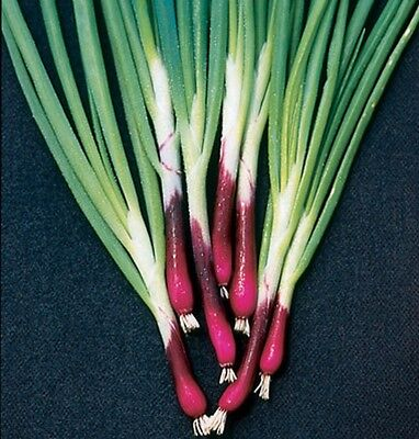 Vegetable Welsh Onion Red Allium fistulosum Appx 900 seeds Herbs