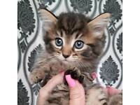 4x 8week old kittens