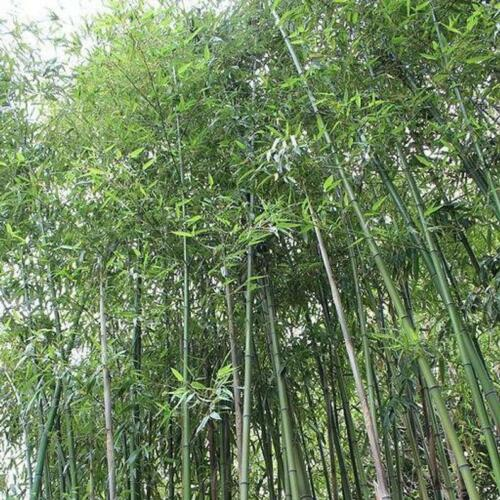 50 Giant Japanses Timber Bamboo Seeds Privacy Climbing Garden Seed 372 US SELLER