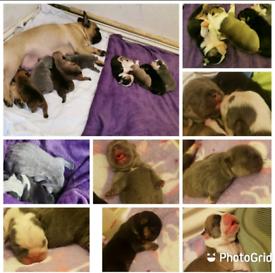 French bulldog puppies 🌈