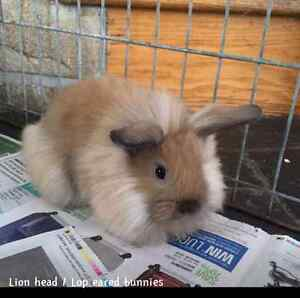 Holland Lop Eared \ Lion Head Baby Bunnies