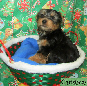 2 gorgeous yorkie puppies available. Ready to go home Saturday!
